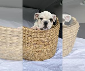 English Bulldogge Puppy for Sale in HAMBURG, New Jersey USA