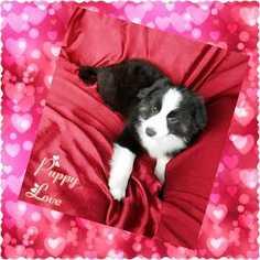 Miniature Australian Shepherd Puppy For Sale in PHOENIX, AZ, USA