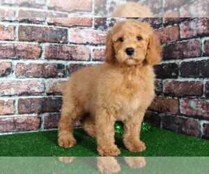 Pyredoodle Puppy for sale in BEL AIR, MD, USA