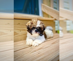 Shih Tzu Puppy for Sale in WHITE PLAINS, Maryland USA