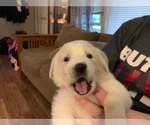 Puppy 2 Great Pyrenees-Labrador Retriever Mix