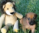Rhodesian Ridgeback Puppy For Sale in PASADENA, TX, USA