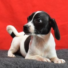 Beagle Puppy For Sale in CHATTANOOGA, TN, USA