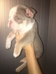 Olde English Bulldogge Puppy For Sale in INDIANAPOLIS, IN, USA