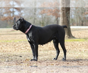 Mother of the Cane Corso puppies born on 04/13/2019