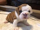 Puppy 0 English Bulldog