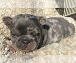 Small #26 French Bulldog