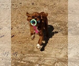 Cavalier King Charles Spaniel Puppy for Sale in HOUSTON, Missouri USA