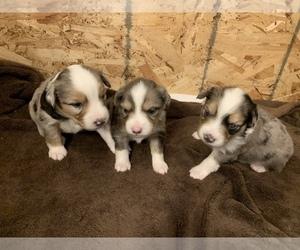 Miniature Australian Shepherd Puppy for Sale in WHITE SALMON, Washington USA