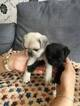 Gorgeous  purebred pug puppies