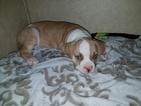 Puppy 6 American Bulldog