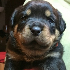 Rottweiler Puppy For Sale in LAKEHEAD, CA