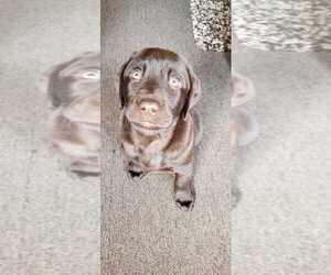 Labrador Retriever Puppy for sale in MILWAUKEE, WI, USA