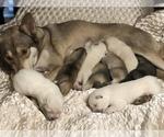 Small Photo #16 Wolf Hybrid Puppy For Sale in FILLMORE, LA, USA