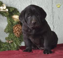 Labrador Retriever Puppy For Sale in CAMBRIDGE, OH