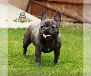 Mother of the French Bulldog puppies born on 11/28/2020
