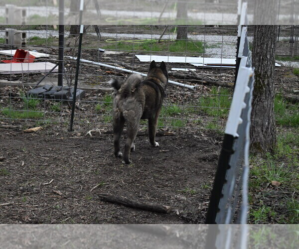 Medium Photo #4 Akita Puppy For Sale in LICKING, MO, USA