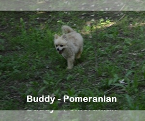 Father of the Pomeranian puppies born on 04/21/2020