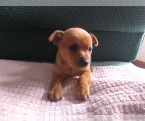 Chipin Puppy for sale in S BEND, IN, USA