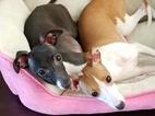 Two beautiful Italian Greyhounds