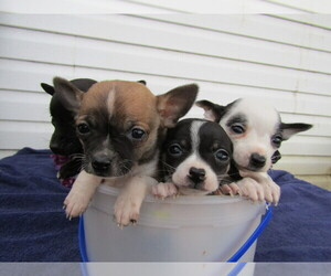 Chihuahua Puppy for sale in MISHAWAKA, IN, USA