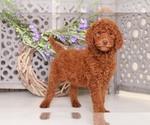 Dexter Standard Size AKC Poodle