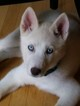 Siberian Husky Puppy For Sale in STROUDSBURG, PA, USA