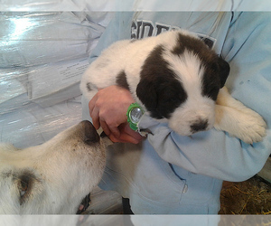 Great Pyrenees-Newfoundland Mix Puppy for Sale in LOVELL, Wyoming USA