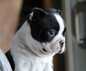 Boston Terrier Puppy for Sale in ELLENSBURG, Washington USA