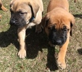 Mastiff Puppy For Sale in HESPERIA, CA, USA