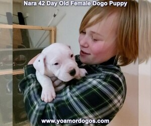 Dogo Argentino Puppy for Sale in JANE, Missouri USA