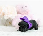 Small #1 Pomeranian-Poodle (Toy) Mix