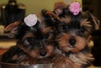 Yorkshire Terrier Puppy For Sale in PINEY FLATS, TN, USA