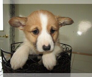 Pembroke Welsh Corgi Puppy for sale in ANTHONY, IN, USA
