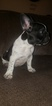 French Bulldog Puppy For Sale in NEW HAVEN, CT, USA