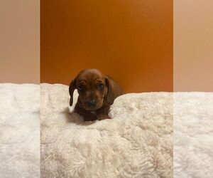 Dachshund Puppy for sale in CHULA VISTA, CA, USA