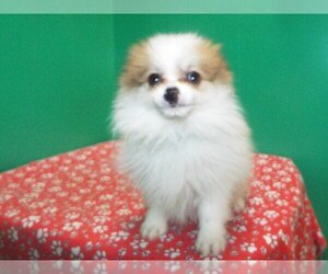 Pomeranian Dog for Adoption in PATERSON, New Jersey USA