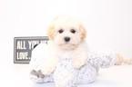 Brighton Male Maltipoo Puppy