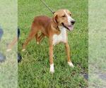 Small #10 Beagle-Treeing Walker Coonhound Mix