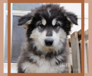 Siberian Husky Puppy for Sale in COLORADO SPRINGS, Colorado USA