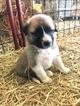Puppy 1 Anatolian Shepherd-Great Pyrenees Mix