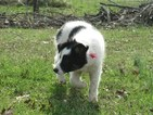 Border Collie Puppy For Sale in CORYDON, Indiana,