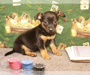 Chiweenie Puppy for Sale in SHAWNEE, Oklahoma USA