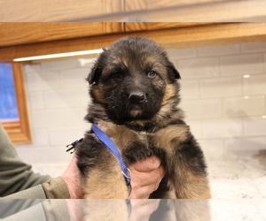 German Shepherd Dog Puppy for sale in CHETEK, WI, USA