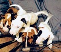 Bull Terrier Puppy For Sale in OKLAHOMA CITY, OK, USA