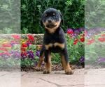 Puppy 1 Rottweiler
