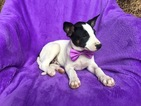 Australian Cattle Dog Puppy For Sale in PEACH BOTTOM, PA, USA