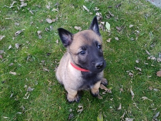 Belgian Malinois Puppy For Sale near 96021, Corning, CA, USA