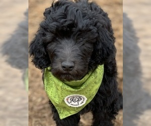 Labradoodle Puppy for Sale in SIOUX CENTER, Iowa USA