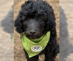 Labradoodle Puppy For Sale in SIOUX CENTER, IA, USA